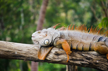Big Iguana in wildlife