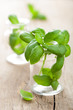 basil in glass