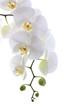 Fototapeten,weiß,orchid,isoliert,jahrestag