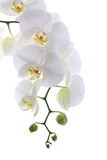 Fototapety White orchid isolated on white