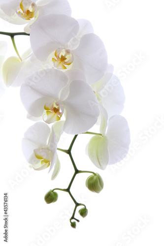 Foto op Aluminium Orchidee White orchid isolated on white