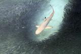 Fototapeta Malediwy - ryba - Ryba