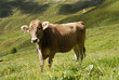 Young cow in the Italian Alps
