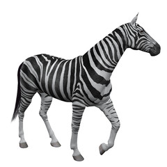 3D Zebra Isolated on white background