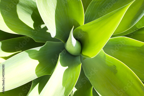 Light and shadow on leaves of blooming agave plant