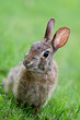 Curious looking young cottontail bunny rabbit