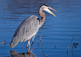Great Blue Heron (Ardea herodias) fishing