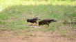"""Myna"" birds are eating food"