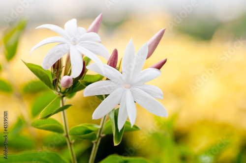 White Jasmine flowers close up