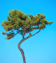 Maritime Pine curved tree on blue sky background. Provence, Fran