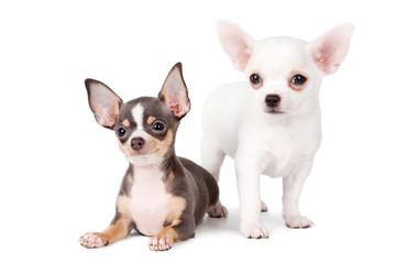 Bonitos Chihuahuas