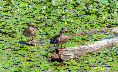 Pleased wild ducks sitting on a snag among water lilies