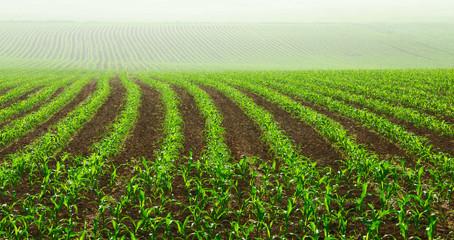 Junge Maispflanzen auf dem Feld