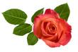 Rote Rose mit Blättern, von oben