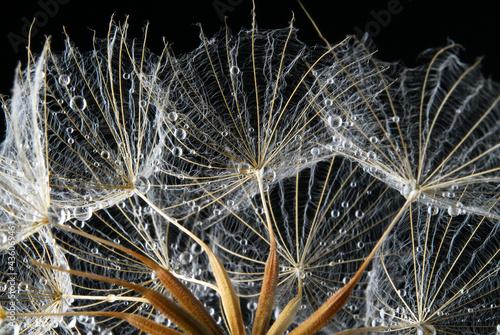 Naklejka dandeliohn seeds