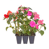 Pack of three impatiens seedlings ready for transplanting poster