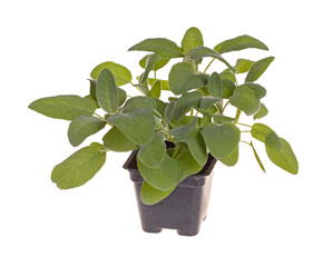 Small plant of sage in a black plastic pot