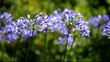 Blue flower of agapanthus africanus