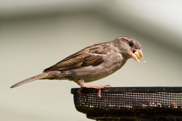 House Sparrow, Passer domesticus,