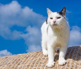 Katze auf einem Heuballen vor blauem Himmel