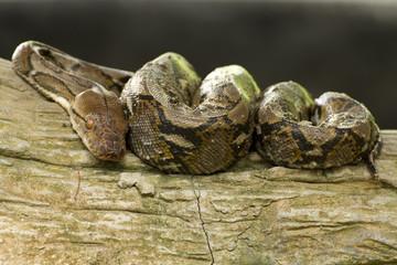 Python curled up sleeping on a tree