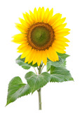 Fototapety Sunflower. Close-up. Isolated. Studio
