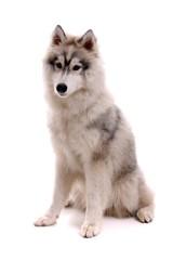 Junghund Husky sitzend