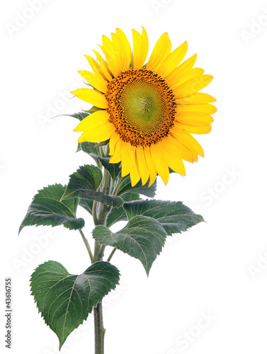 In de dag Zonnebloem Sunflower. Close-up. Isolated. Studio