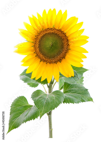 Sunflower. Close-up. Isolated. Studio