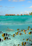 Shark and butterfly fish at Bora Bora