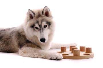 junger Hund Husky fordert Spiel