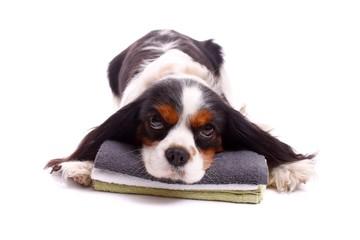 junger Hund liegend auf Handtuch