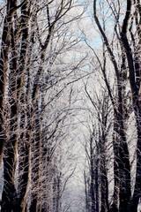 Winterliche Baumallee