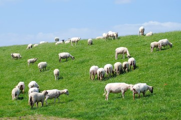 Schafherde auf einem Deich