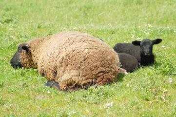 Schwarzes Lamm und Muttertier auf einer Wiese