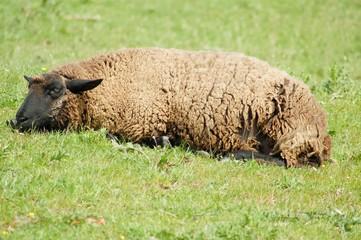 Schaf liegend im Gras