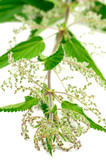 Stinging Nettle (Urtica Dioica) poster