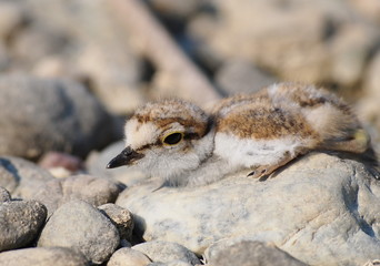 Beautiful  baby Little Ringed Plover, Charadrius dubius