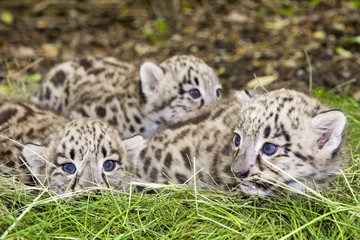 Pack of Snow leopard (Uncia uncia or Panthera uncia) babies