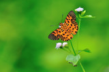 Zigzag Flat Butterfly poster