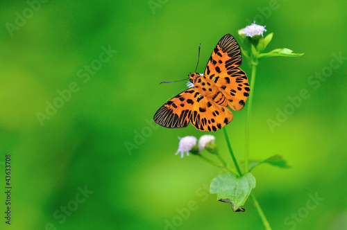 poster of Zigzag Flat Butterfly