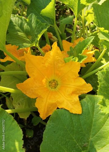 patisson flower