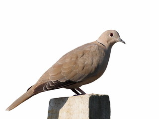 Collared Dove isolated on white background (Streptopelia turtur)