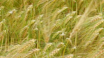Barley field in mild wind