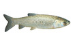 The White Amur or Grass Carp (Ctenopharyngodon idella).