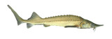The Siberian sturgeon (Acipenser baerii).