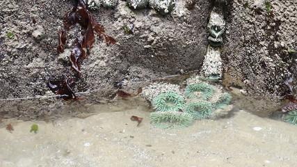 Green Sea Anemones in a Tide Pool in Oregon