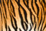 Fototapety tiger skin