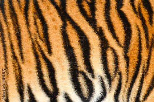 skora-tygrysa