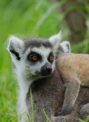 lemur catta / Ring Tailed Lemur